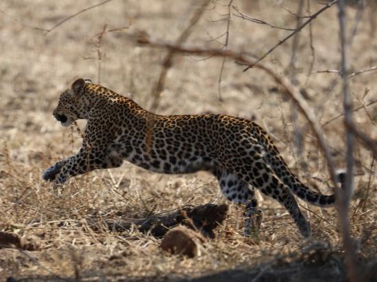 Tena Tena Camp : Leopardess