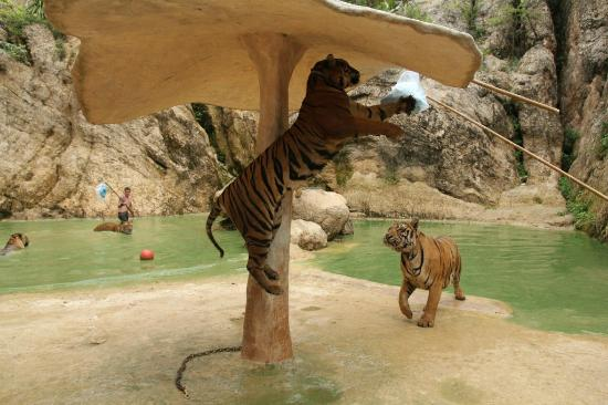 Feeding the young tigers - Picture of Tiger Temple ...