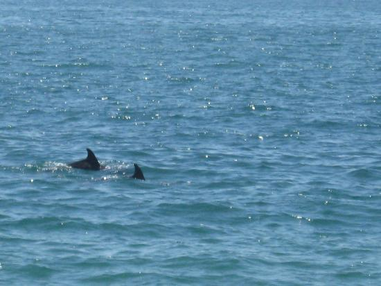 The Eagle Inn: A couple of dolphins swimming near Santa Barbara