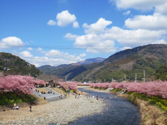 Kawazu-cho, ญี่ปุ่น: 桜並木