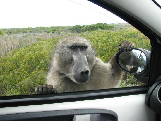 Table Mountain National Park, Sudáfrica: Hungry baboon looking for food