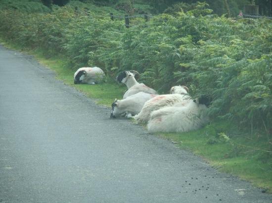 Easdon Cottage: Dartmoor Sheep