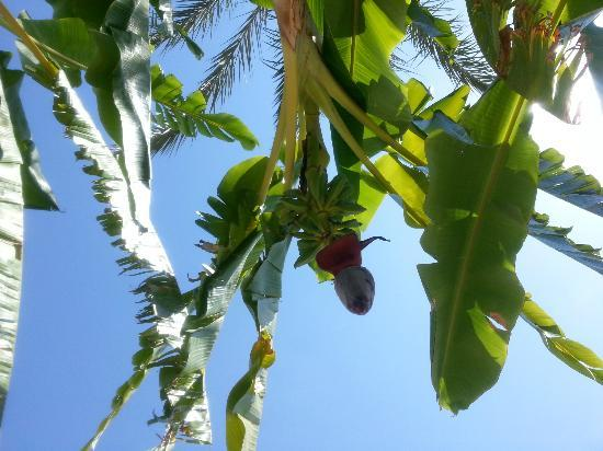 Crystal Paraiso Verde Resort & Spa: Banana trees near the pool