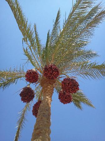 Continental Hotel Hurghada: palm tree from below