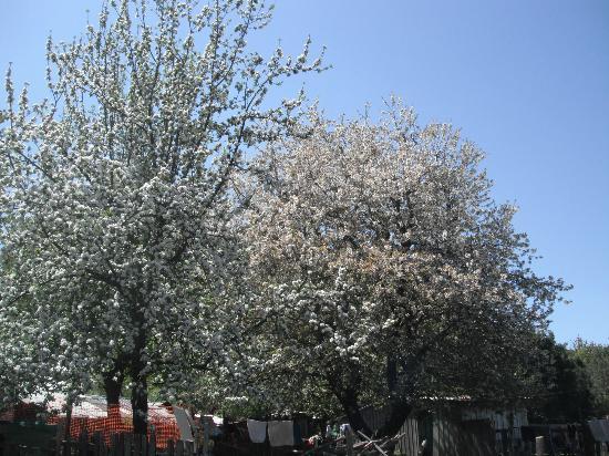 Curacautin, Chile: cerezos de la entrada del hotel