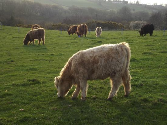 Plane Tree Cottage Farm: Highland cattle