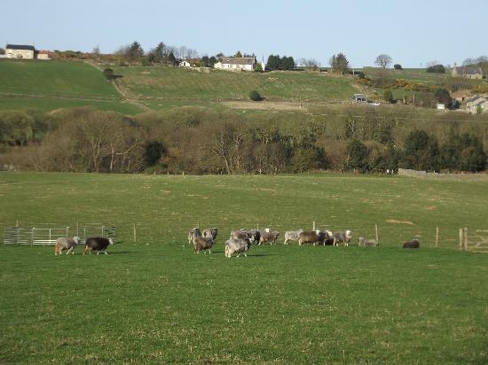 Plane Tree Cottage Farm : Sheep and surrounding area