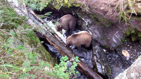 Russian River: A pair of 2nd year cubs enjoying some easy salmon fishing in a small ravine...