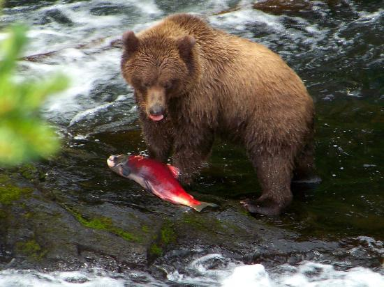Russian River: Cub enjoying his catch of a dying red salmon...