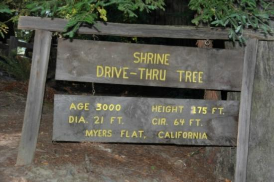 Avenue of the Giants: Shrine Drive Thru Tree