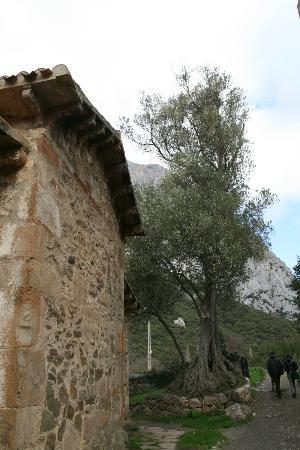 Iglesia de Santa Maria de Lebena: El olivo