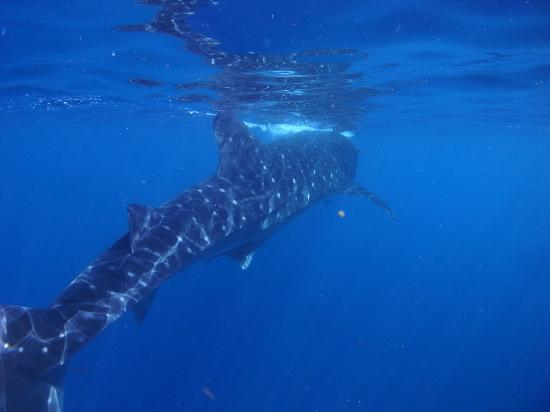 Fantasea Dive - Diving & Adventures : Whaleshark snorkeling