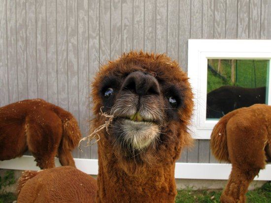 New Shoreham, Род Айленд: Alpaca Close Up