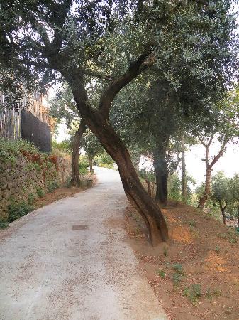 Torre Cangiani: Olive Trees blocking the road.