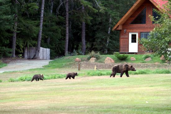 Tweedsmuir Park Lodge: Grizzly sow and two cubs enjoying Tweedsmuir Lodge Hospitality