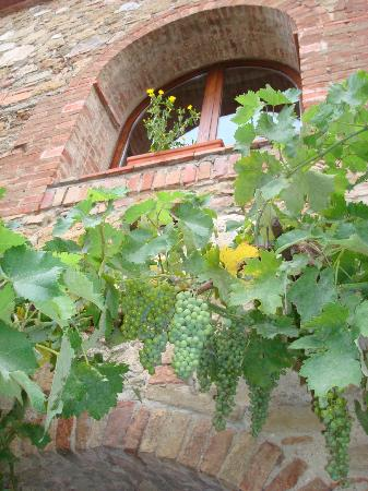 Agriturismo Il Rigo: grapes growing!