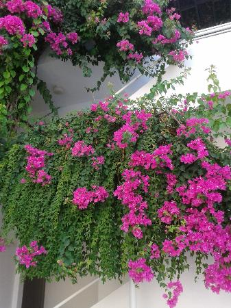 Golden Gate Apart Hotel: The beautiful bougainvillea by the pool