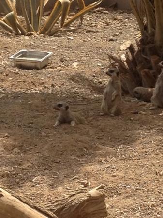 Guinate Tropical Park: meerkats