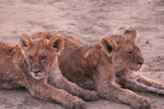 Ndutu Safari Lodge : les lionceaux participent également au repas