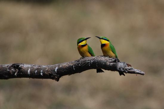 Wilderness Safaris Mombo Camp: Beautiful bee catchers in camp.