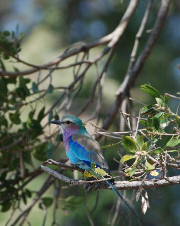 Wilderness Safaris Mombo Camp : Lilac breasted roller right outside our room.