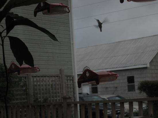 Auld Farm Inn B & B: Hummingbirds!