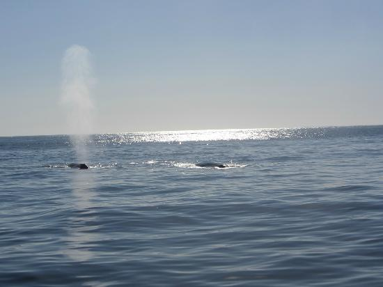 Dana Wharf Whale Watching & Sportfishing: You could see the spray and hear them breath
