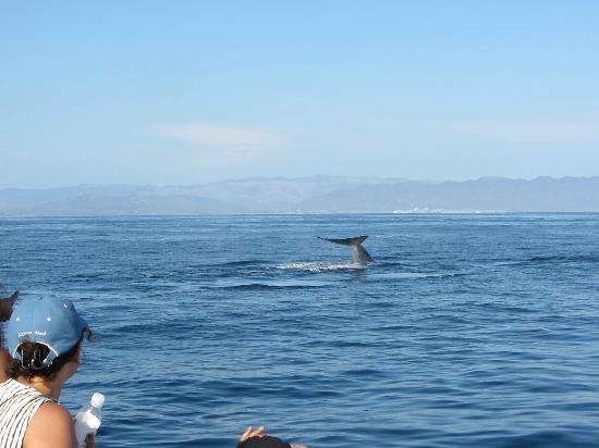Dana Wharf Whale Watching & Sportfishing: they are diving down, so cool