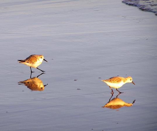 Lido West Beach: Plover reflections