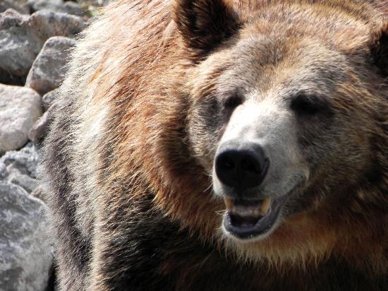 Saint-Felicien, Kanada: grizzli