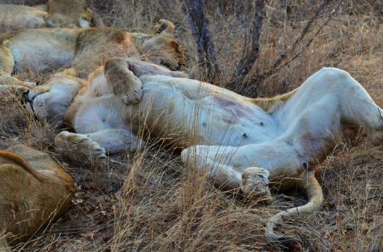 Tanda Tula Safari Camp: Lioness snoozing