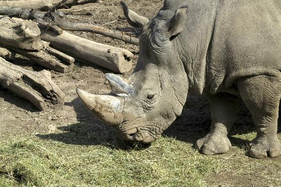 Seneca Park Zoo: Rhino
