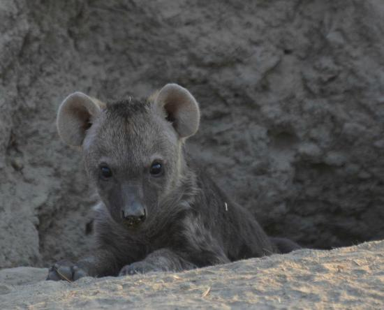 ‪‪Tanda Tula Safari Camp‬: Hyena Pups