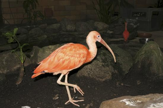 Seneca Park Zoo: Ibis