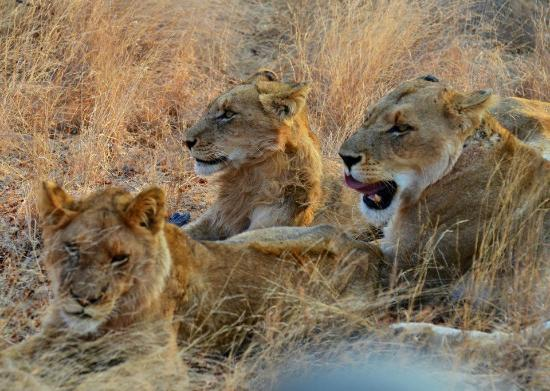 Cheetah Plains: Lionesses and cubs