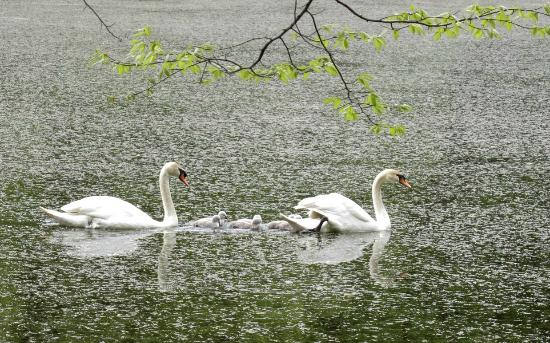 Durand Eastman Park: Cygnets with their parents in Durand