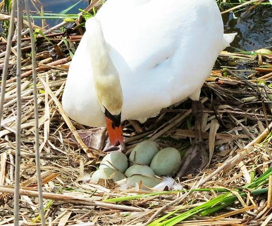 Durand Eastman Park: Spring Swan