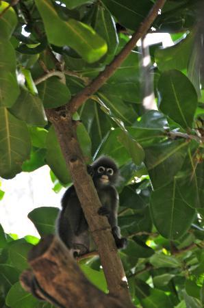 Rayavadee Resort: Petit singe de Krabi