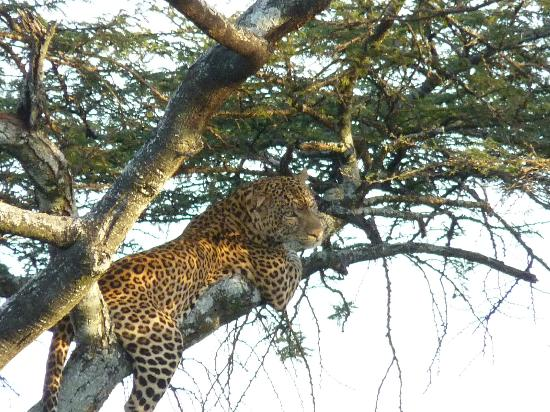 Singita Faru Faru Lodge: The elusive Leopard. Saw him scale this tree then promptly take a nap