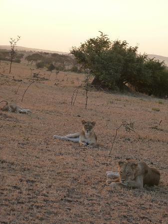 Singita Faru Faru Lodge: Lions before they began to hunt
