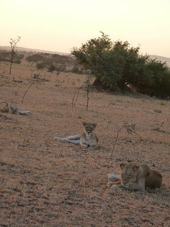Singita Faru Faru Lodge : Lions before they began to hunt