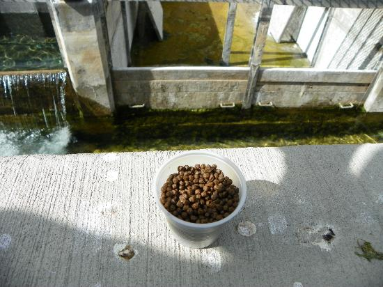 Rifle Falls Hatchery - Free cup of feed from the guide on-duty