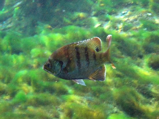Alexander Springs: local fish - bluegill
