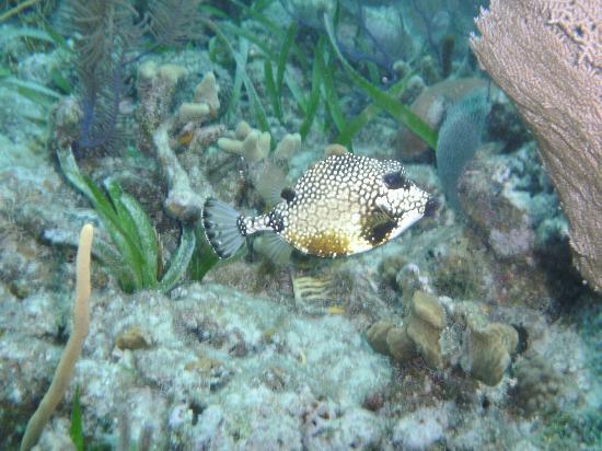 Turneffe Island Resort: Honey Trunkfish