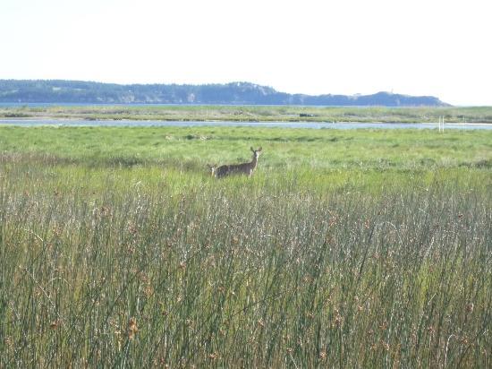 Castalia Marsh Retreat : deer on the marsh