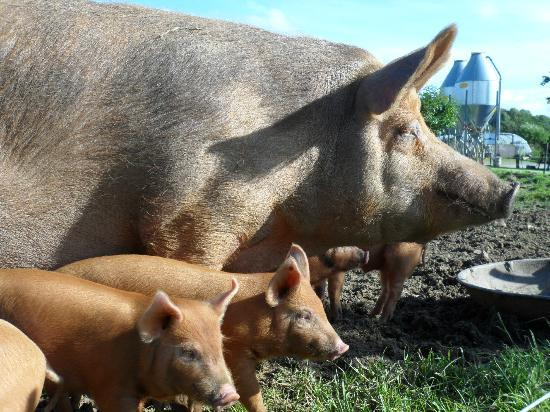 Rigney's Farmhouse Bed & Breakfast: Mama and her baby pigs 2012