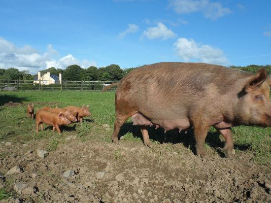 Rigney's Farmhouse Bed & Breakfast: New baby pigs 2012