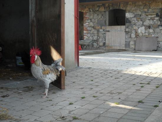 Rigney's Farmhouse Bed & Breakfast: One of the roosters 2012