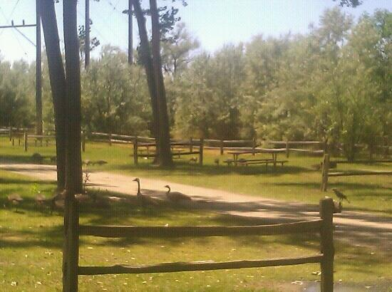 Billings KOA: KOA Grounds near Kamper Kabins looking towards Yellowstone River. Geese.