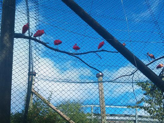 Helsinki Zoo: Red Ibis